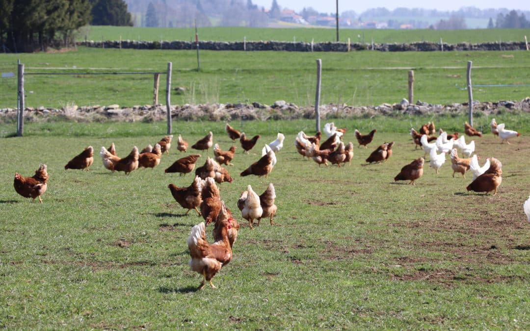 5 choses pour rendre heureuses des poules